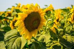 конец цветка солнца вверх Стоковое Изображение RF