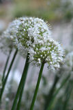 Конец цветка лука вверх Стоковые Фотографии RF