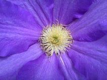 Конец цветка фиолетового Clematis вверх Стоковая Фотография