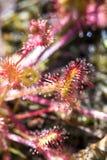 Конец цветка anglica Drocera вверх Sundew живет на болотах и оно удит листья насекомых липкие Жизнь заводов и насекомых на трясин стоковое фото