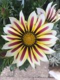 Конец цветка Gazania вверх нашел в namaqualand Южной Африке Стоковые Фото