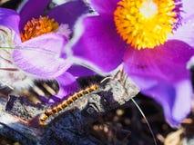 Конец цветка Pasque вверх и вползая гусеница стоковые изображения rf