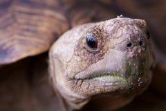 Конец черепахи леопарда вверх Стоковая Фотография RF