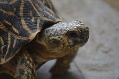 Конец черепахи звезды вверх головы Стоковое Изображение RF