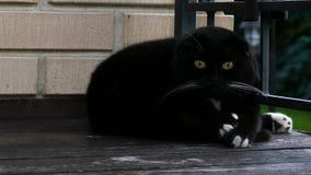 Конец черного кота вверх по портрету сток-видео