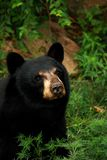 конец черноты медведя вверх Стоковые Фото