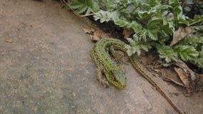 Конец ящерицы вверх Европейские зеленые viridis ящерицы на камне и зеленом растении Небольшой конец-вверх ящерицы на утесе горы акции видеоматериалы
