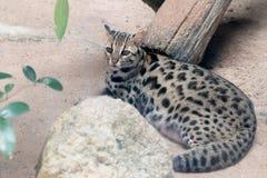 Конец bengalensis Prionailurus кота леопарда вверх стоковые изображения rf