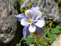 Конец Columbine цветка положения Колорадо вверх Стоковые Фото