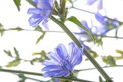 Конец intybus Cichorium цветка цикория вверх Стоковые Фотографии RF