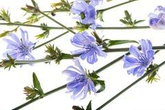 Конец intybus Cichorium цветка цикория вверх Стоковые Изображения