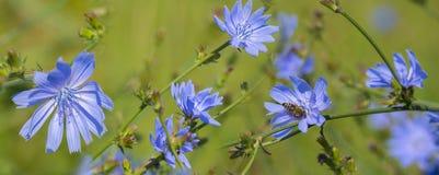 Конец intybus Cichorium цветка цикория вверх Стоковое Изображение RF