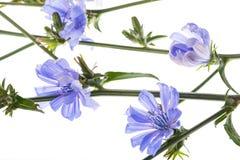 Конец intybus Cichorium цветка цикория вверх Стоковое Фото