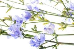 Конец intybus Cichorium цветка цикория вверх Стоковое фото RF