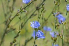 Конец intybus Cichorium цветка цикория вверх Стоковая Фотография
