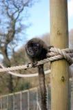 Конец lemur Брайна вверх по портрету Стоковое Фото