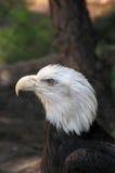 Конец Leucocephalus Haliaeetus белоголового орлана вверх Стоковые Фото