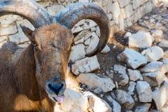 Конец Mouflon марокканца вверх по портрету Стоковое фото RF