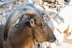 Конец Mouflon марокканца вверх по портрету Стоковые Фотографии RF