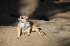Конец suricatta Suricata Meerka вверх Стоковое Изображение RF