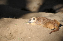 Конец suricatta Suricata Meerka вверх Стоковая Фотография RF
