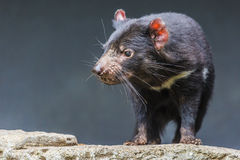 Конец Tasmanian дьявола вверх стоковая фотография rf