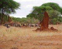 Конец-u антилопы гну антилопы на сафари Tarangiri - Ngorongoro Стоковая Фотография RF