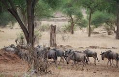 Конец-u антилопы гну антилопы на сафари Tarangiri - Ngorongoro Стоковое Изображение RF