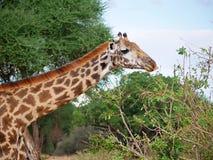 Конец-u жирафа на сафари Tarangiri - Ngorongoro Стоковое фото RF