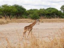 Конец-u жирафа на сафари Tarangiri - Ngorongoro Стоковая Фотография RF
