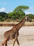 Конец-u жирафа на сафари Tarangiri - Ngorongoro Стоковые Изображения RF