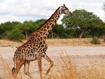 Конец-u жирафа на сафари Tarangiri - Ngorongoro Стоковое Изображение RF