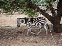 Конец-u зебры на сафари Tarangiri - Ngorongoro Стоковая Фотография RF