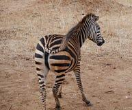 Конец-u зебры на сафари Tarangiri - Ngorongoro Стоковые Изображения RF