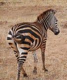 Конец-u зебры на сафари Tarangiri - Ngorongoro Стоковое фото RF