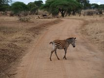 Конец-u зебры на сафари Tarangiri - Ngorongoro Стоковые Фотографии RF