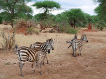 Конец-u зебры на сафари Tarangiri - Ngorongoro Стоковые Фото