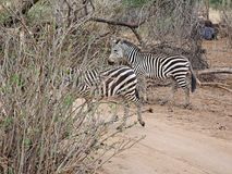Конец-u зебры на сафари Tarangiri - Ngorongoro Стоковые Изображения