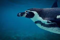 Конец underwater пингвина Гумбольдта вверх Стоковые Фотографии RF