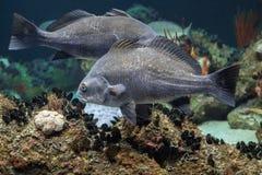 Конец underwater рыб Атлантического океана черного барабанчика вверх Стоковое Изображение RF