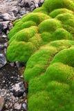Конец yareta колонии вверх стоковое фото