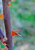 Конический розовый терний цветка Стоковые Фотографии RF