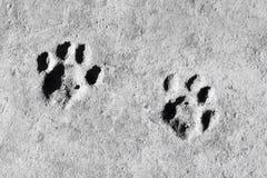 конкретно текстура След ноги кота на серой предпосылке стоковая фотография