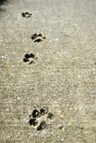 конкретные следы собаки Стоковые Фото