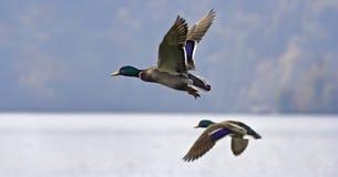 конкуренты самолет-утка ial Стоковая Фотография RF