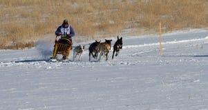Конкурент женщины гонки собаки скелетона Стоковая Фотография