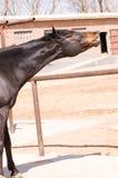 конноспортивная лошадь Стоковая Фотография RF