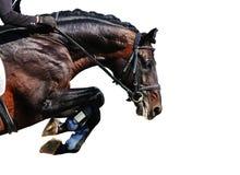 Конный спорт: Лошадь залива в скача изолированной выставке, Стоковое Фото