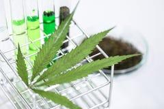 Конопля дает наркотики, анализ конопли в лаборатории стоковое изображение rf