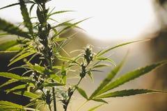 Конопля цветя бутонов марихуаны, завод пеньки Медицинское цветковое растение конопли r стоковая фотография